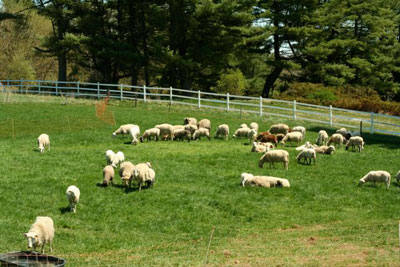 Katahdin Hairsheep at Crystal Spring CSA